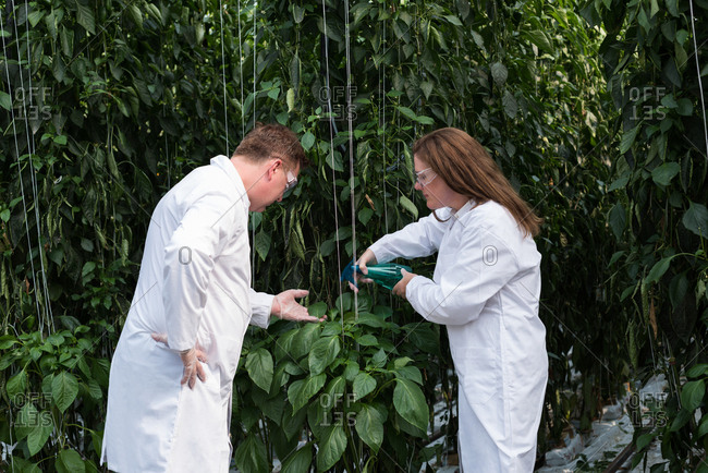 Two scientists watering the plants in the greenhouse