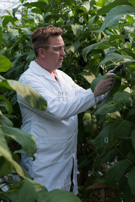 Concentrated scientist examining aubergine in greenhouse