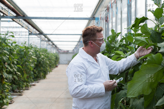 Side view of scientist with syringe examining plants in the greenhouse