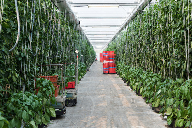 Rows of green plantation in the greenhouse