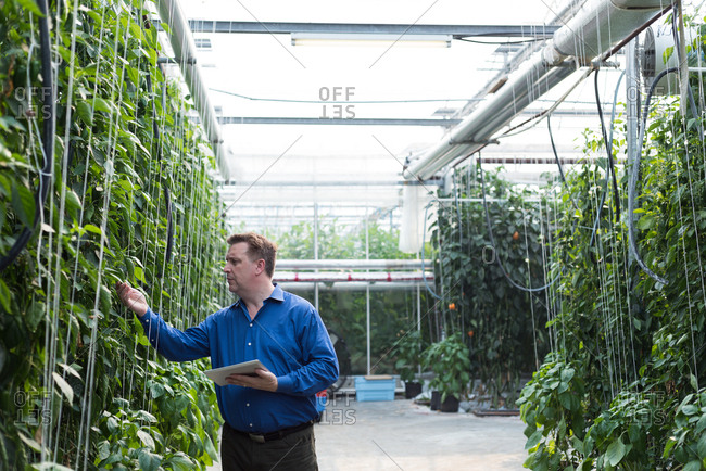 Man with digital tablet examining the plants in greenhouse
