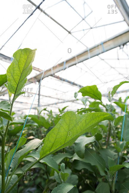 Close-up of green plantation in greenhouse