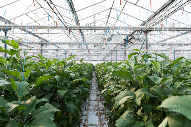 Green plantation in greenhouse
