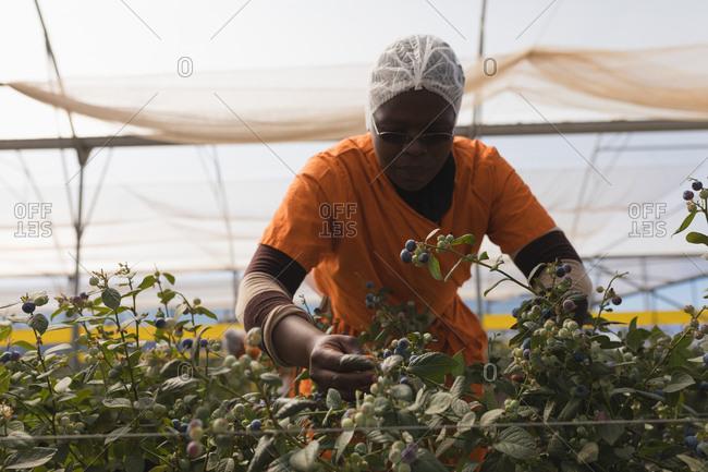 Worker examining blueberries in modern blueberry farm