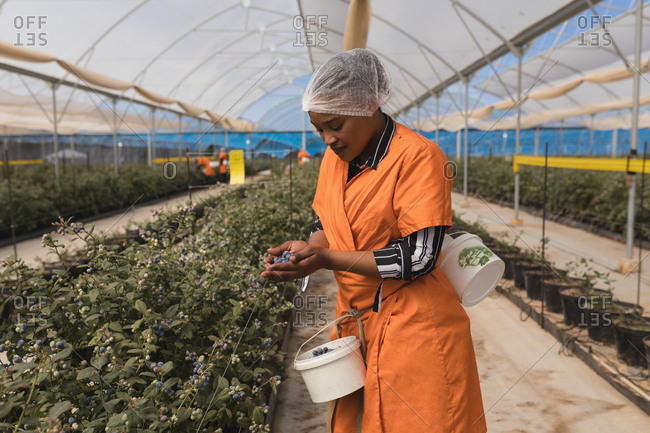 Worker holding blueberries in modern blueberry farm
