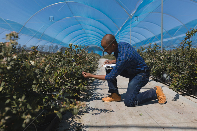 Side view of man examining blueberries in blueberry farm