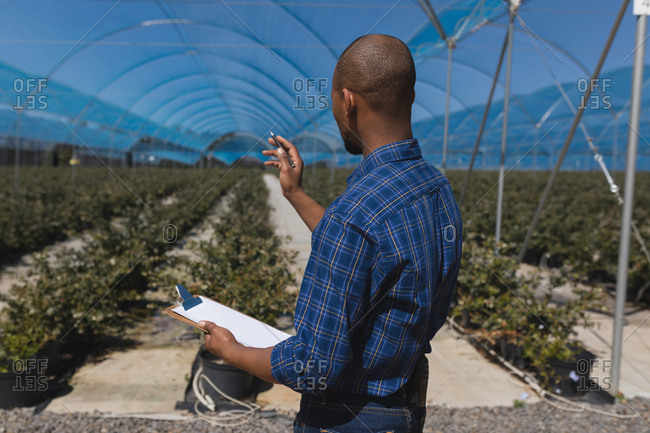 Side view of man counting plants in blueberry farm