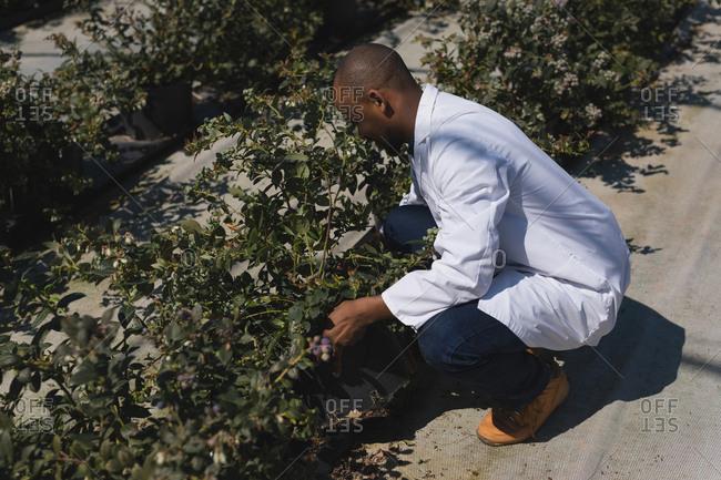 Man examining blueberries in blueberry farm