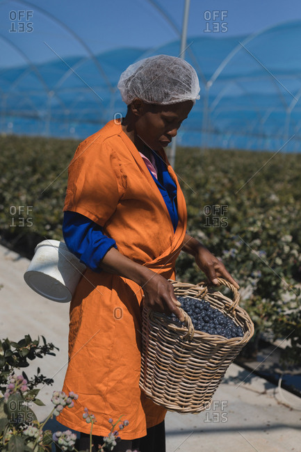 Worker holding blueberries in basket at blueberry farm