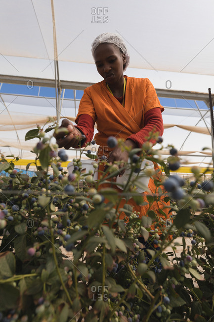Low angle view of worker picking blueberries in blueberry farm