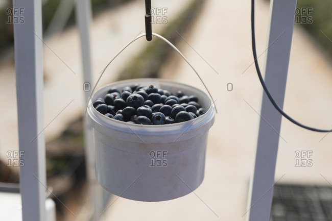 Close-up of blueberries in basket hanging on weighing machine