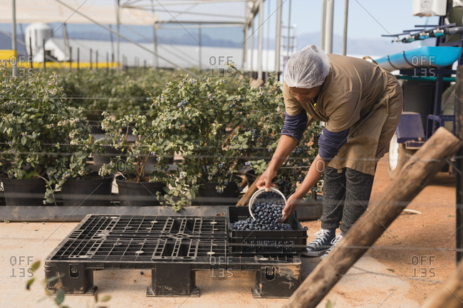 Worker taking blueberries from crate in blueberry farm
