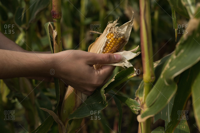 Close-up of woman looking at corn in the corn field
