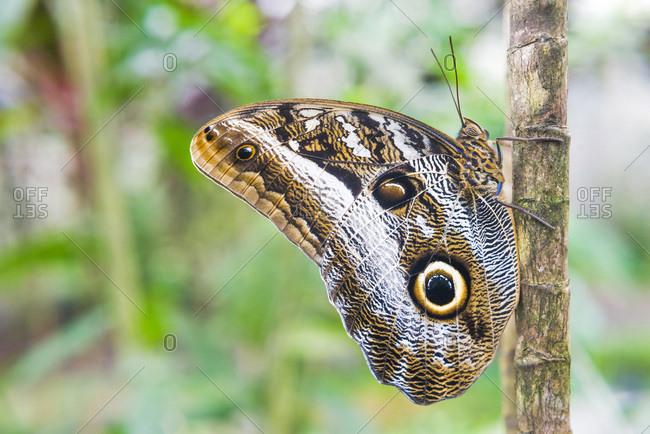Ecuador, Napo, Owl Butteryfly (Caligo eurilochus) in Amazon Rainforest
