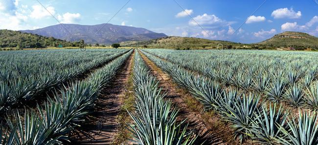 Mexico, Guanajuato, Irapuato, Agave fields