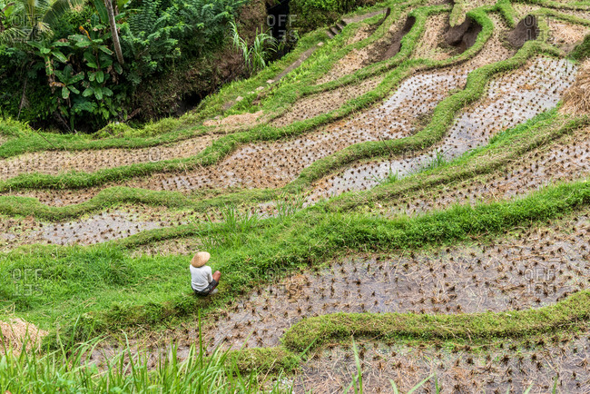 Farmer harvesting the rice terraces in Tegallalang, Bali, Indonesia