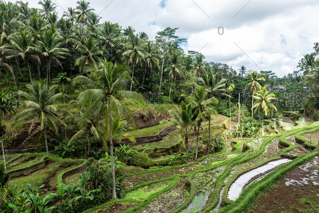 Rice terraces in Tegallalang, Bali, Indonesia