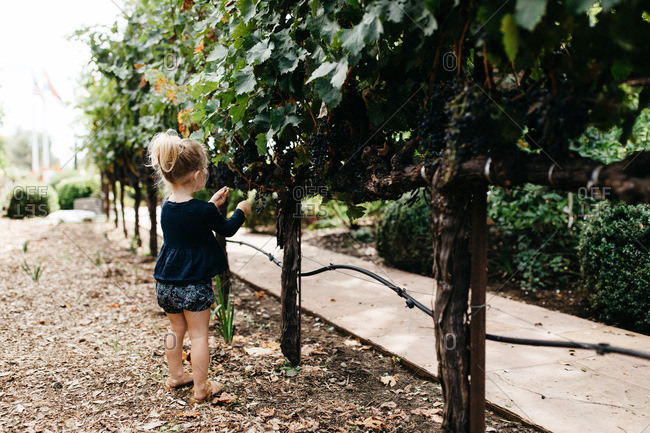 Young girl picking grapes from a vine