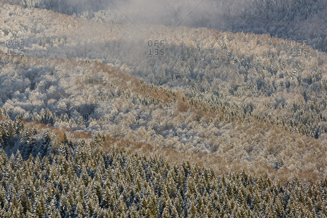 Heavy snowfall in the forest of Alpago near Cansiglio Forest. Low clouds, fog, wind, and sudden rays of light changed the landscape aspect unceasingly, Belluno, Prealps, Veneto, Italy, Europe