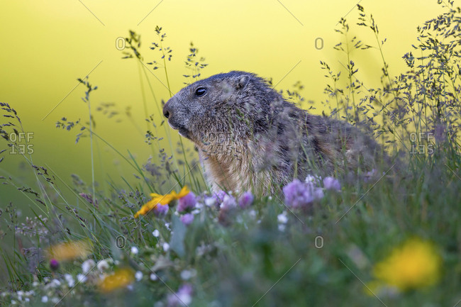At sunrise peeks out this small marmot wrapped in a beautiful vegetation, Gran Paradiso national park, Piedmont, Italy