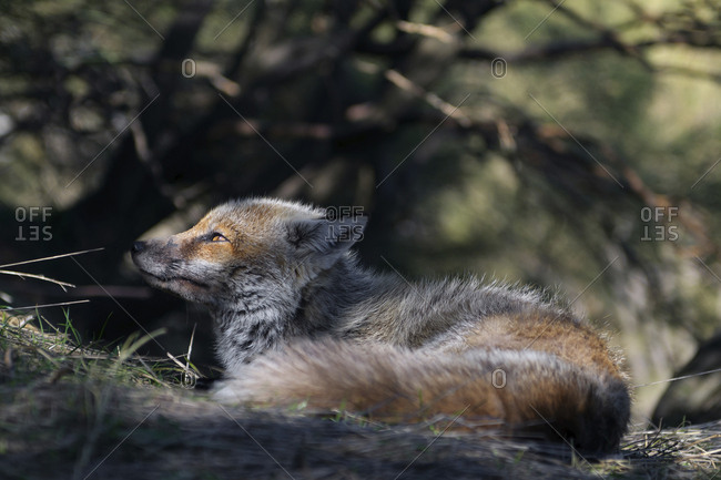 Red fox in the undergrowth