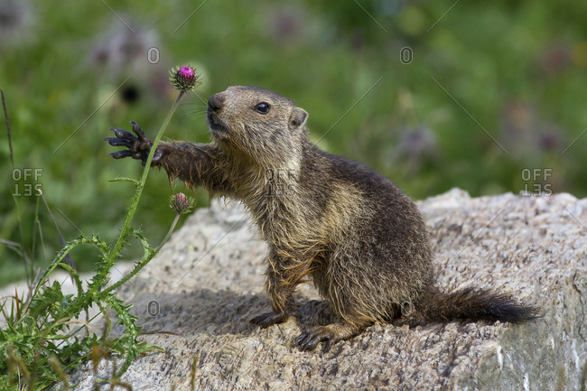 Marmot photographed while collecting a flower, Gran Paradiso national park, Piedmont, Italy