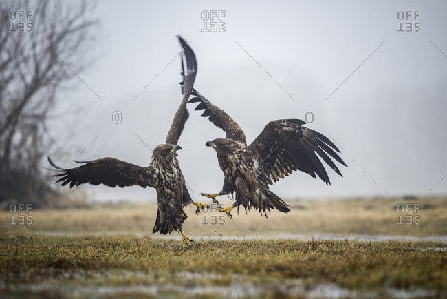 Air battle between two young white tailed eagles