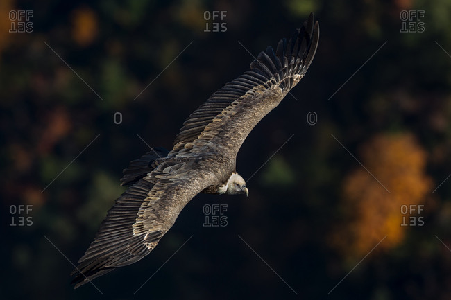 Griffon vulture in flight in the Verdon gorge, Provence, France, Europe