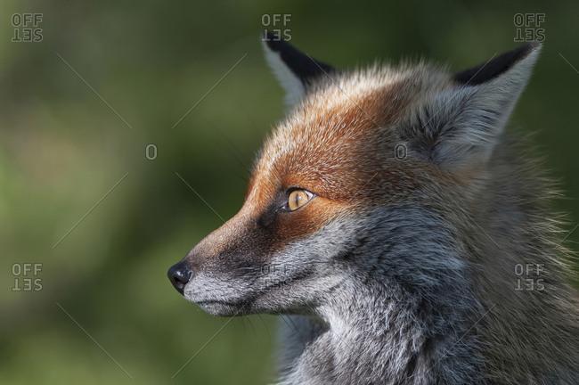 Portrait of red fox