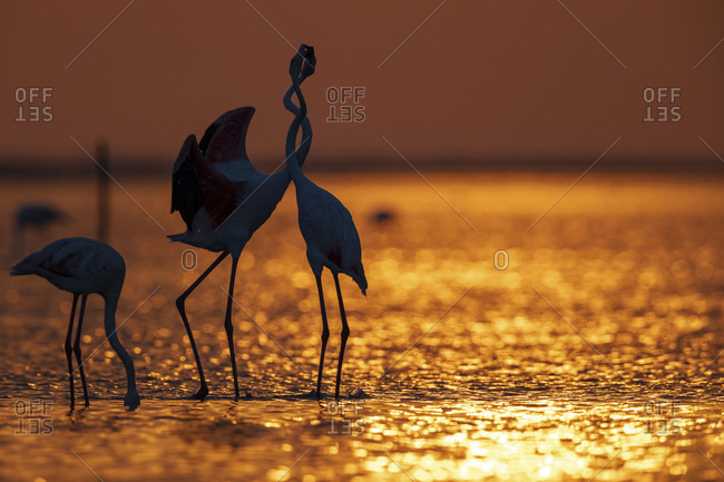 Short quarrel between two pink flamingos at sunrise, Camargue, France