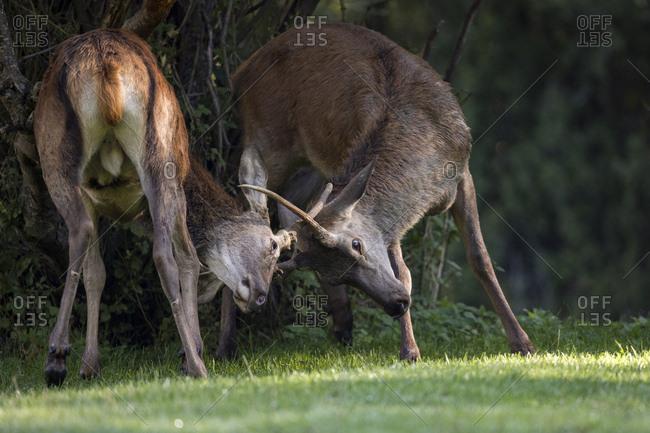 Young deer fighting