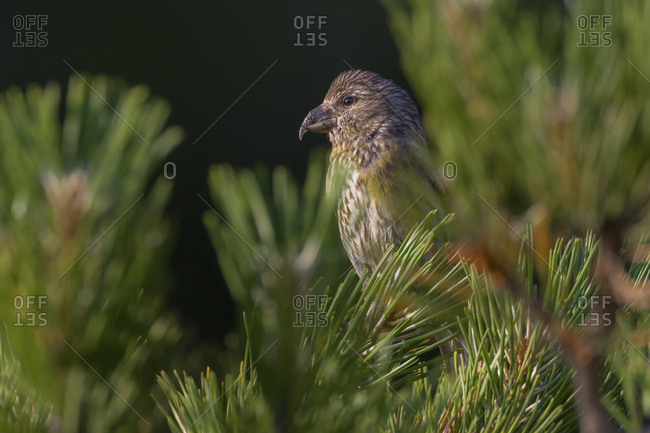 Portrait of Crossbill, loxia curvirostra, in a pine tree