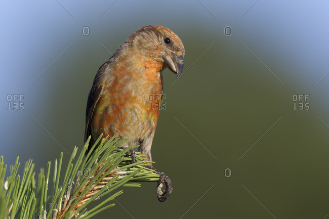 Portrait of a male Crossbill, loxia curvirostra, in a pine tree