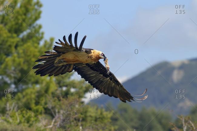 Bearded vulture, Gypaetus barbatus, with prey