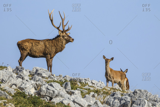 Noble deer male with big horns and deer female in the background, Abruzzo national park, Abruzzo, Italy