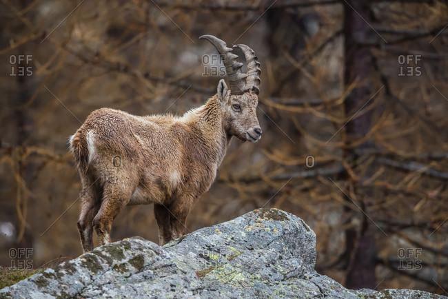 Portrait of young Ibex, capra ibex, in the italian alps