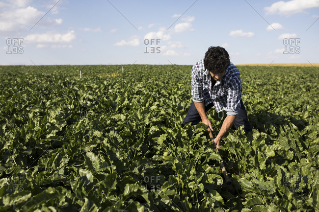 Man in casual outfit working on green plants in farm field on sunny day in Salamanca, Spain
