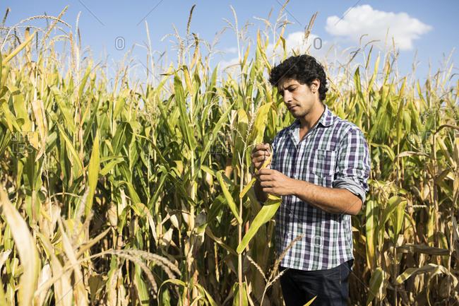Man examining a plant in a corn plantation in Salamanca, Spain