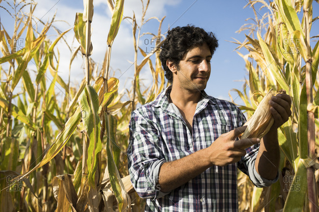 Man inspecting a corn cob in a corn plantation in Salamanca, Spain