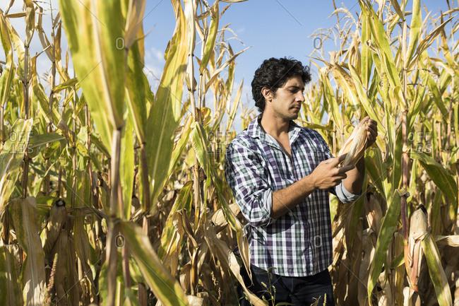 Man examining a corn cob in a corn plantation in Salamanca, Spain