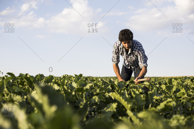 Man working on green plants in farm field on sunny day at sunset in Salamanca, Spain