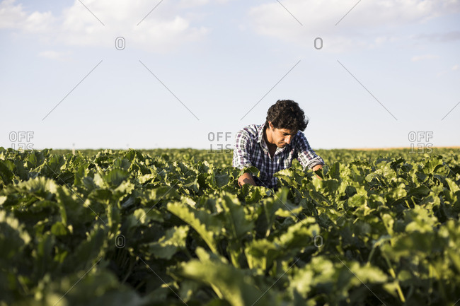Man in checkered shirt taking care of plants on a farm in Salamanca, Spain