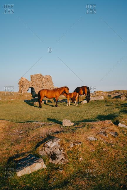 Dartmoor Ponys