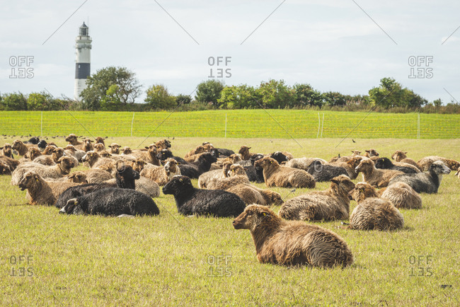 Germany- Schleswig-Holstein- Sylt- Kampen- Braderuper Heide with sheep and view to lighthouse