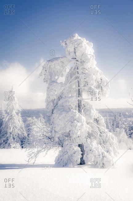 Germany- Baden-Wuerttemberg- Schliffkopf- snow-covered tree at Black forest