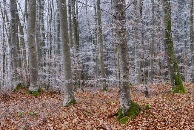 Hoar-frost at beech forest
