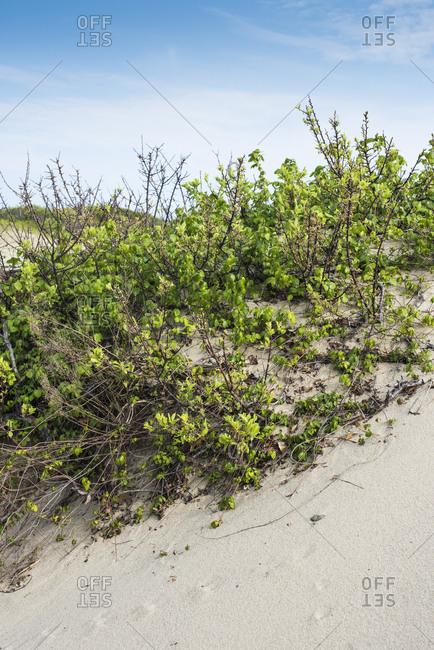 Coastal vegetation on sand dunes at beach