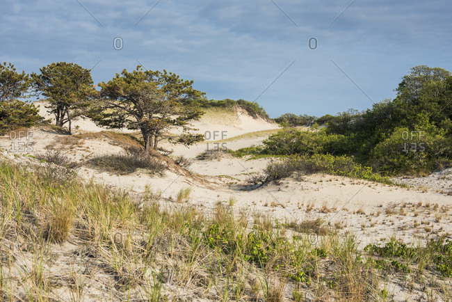 Trees and beach grass growing on coastal sand dunes at beach