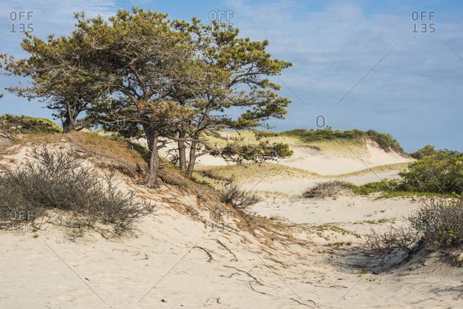 Trees growing on coastal sand dunes near beach