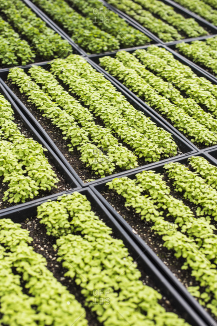 Trays of microgreens growing in a greenhouse